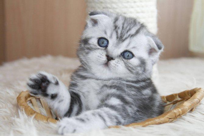 Фото 2 - как назвать шотландского вислоухого котенка