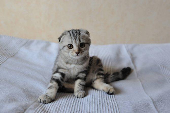Фото 3 - как назвать шотландского вислоухого котенка