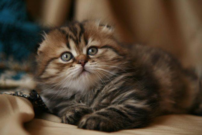 Фото 4 - как назвать шотландского вислоухого котенка