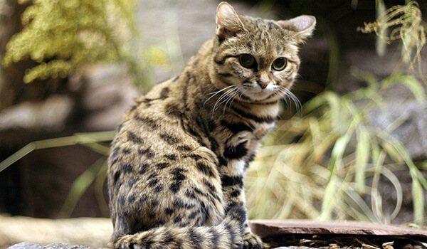 Фото: Африканская черноногая кошка