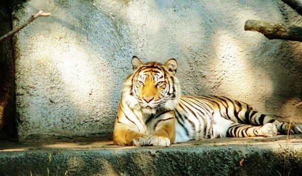Фото: Амурский тигр