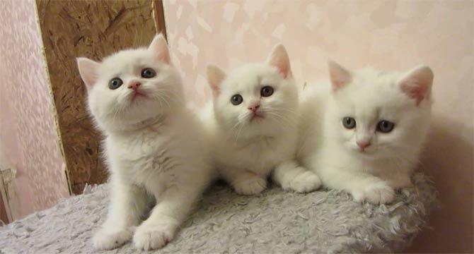 фото белых котят