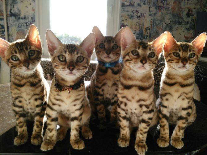 Фото бенгальских котят