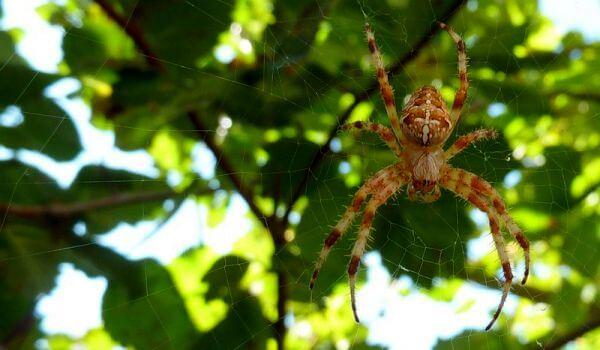 Фото: Большой паук крестовик