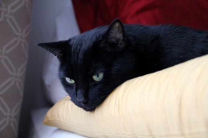 Фото бомбейского кота.jpg