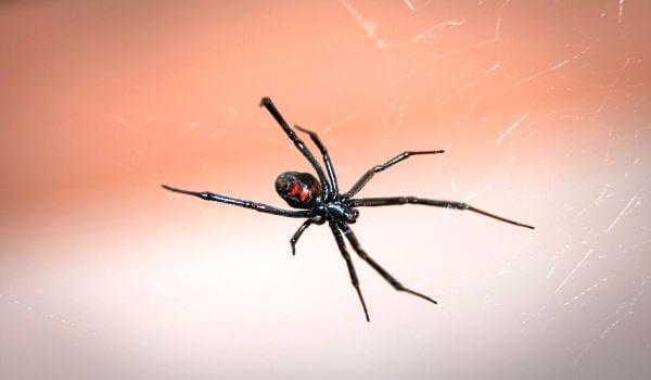 Фото: Черная вдова животное