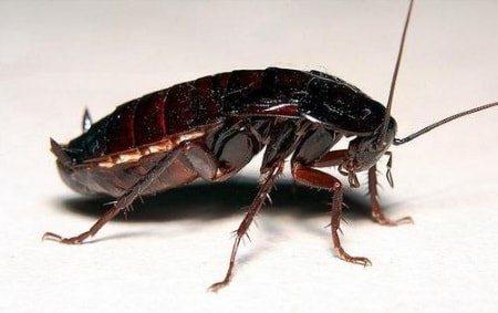 Фото черного таракана