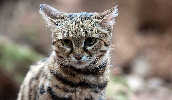 Фото: Черноногая кошка из Африки