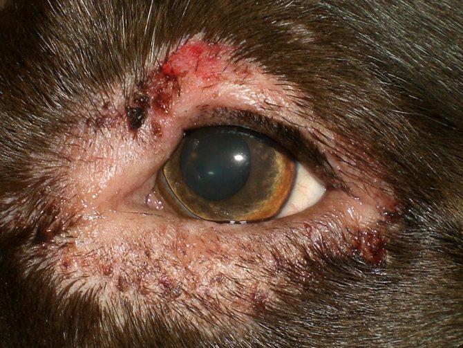 Фото дерматита века у собаки