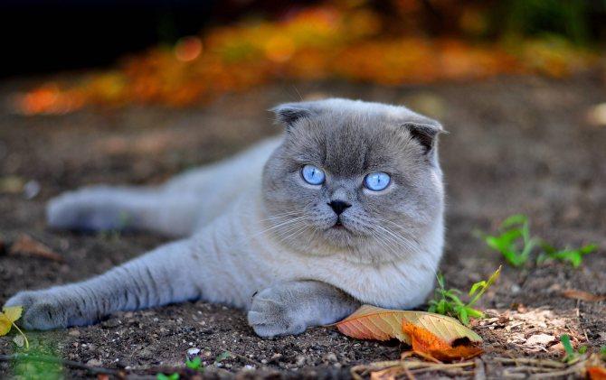 Фото - как назвать шотландского вислоухого котенка