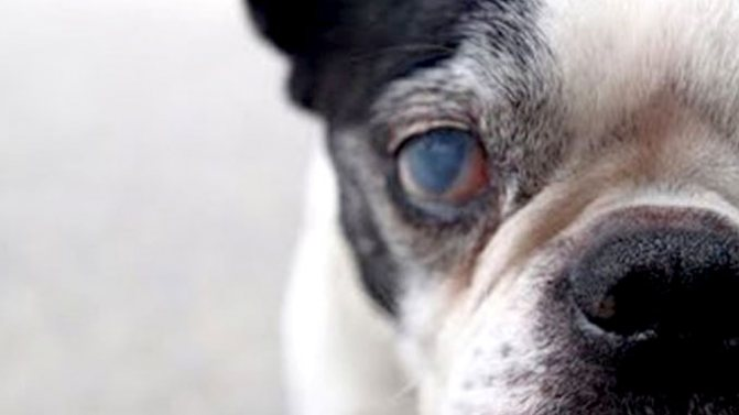 фото катаракты у собак