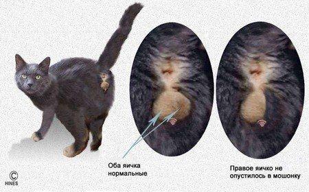 Фото кошачьего крипторхизма