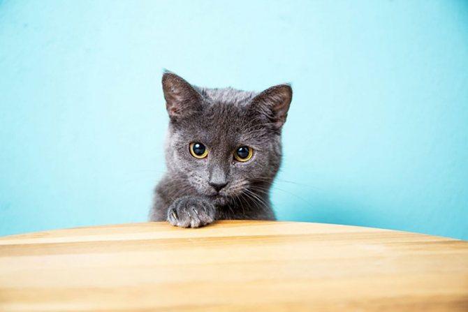 Фото кошки картезианской породы.jpg
