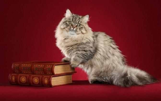 Фото кошки породы Наполеон