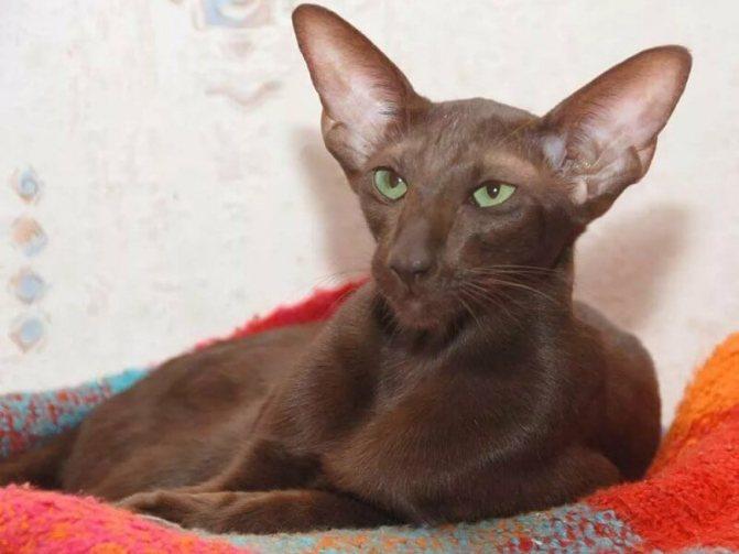 Фото кота породы Гавана Браун