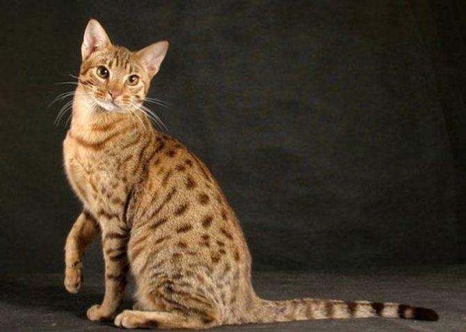 Фото ливийской кошки