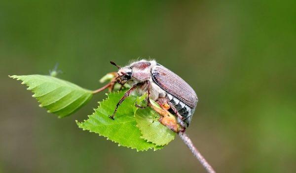 Фото: Майский жук