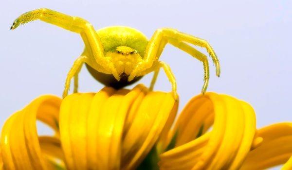 Фото: Опасный жёлтый паук