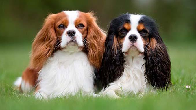 фото пары собак породы Кавалер-кинг-чарльз-спаниель