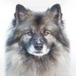 Фото: Порода собак Кеесхонд. Вольфшпиц