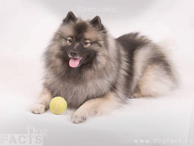 Фото породы собак Кеесхонд. Немецкий Вольфшпиц