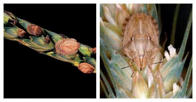 фото пшеницы поврежденной клопом черепашкой
