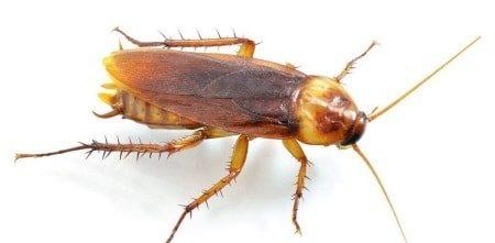 Фото рыжего таракана