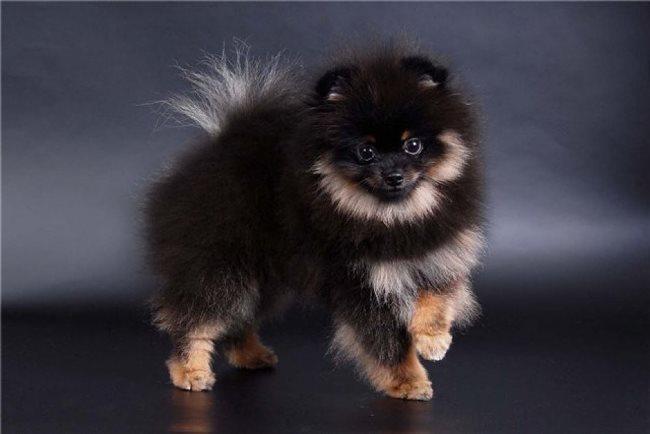 Фото щенка немецкого карликового шпица
