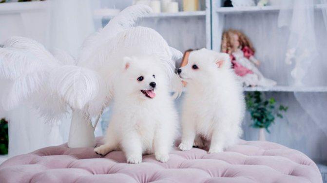 фото щенков Японского шпица