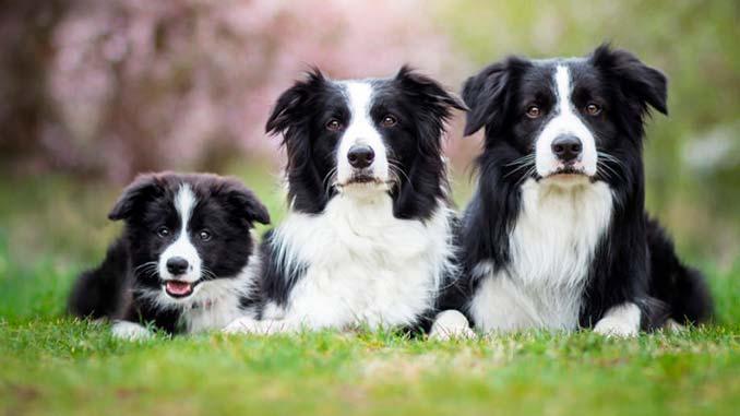 фото собак бордер колли со щенком