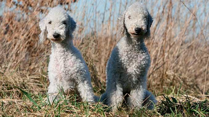 фото собак породы бедлингтон терьер
