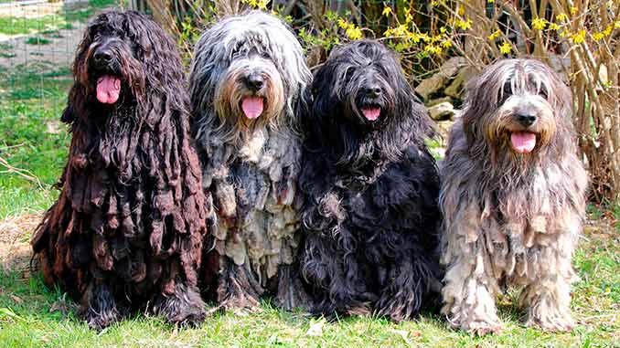 фото собак породы Бергамская овчарка