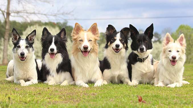 фото собак породы бордер колли