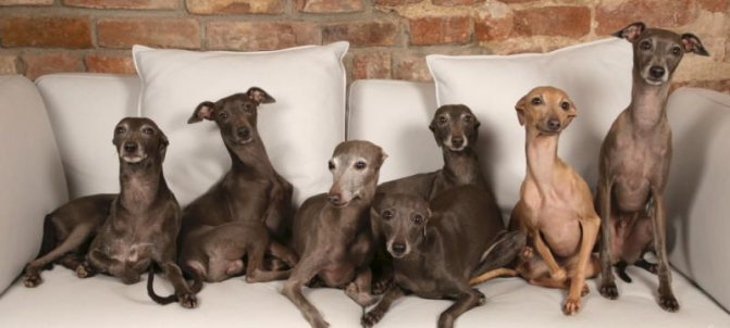 фото собак породы левретка