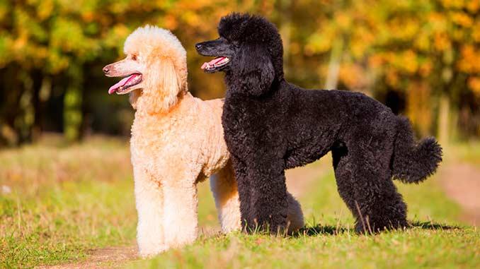 фото собак породы пудель