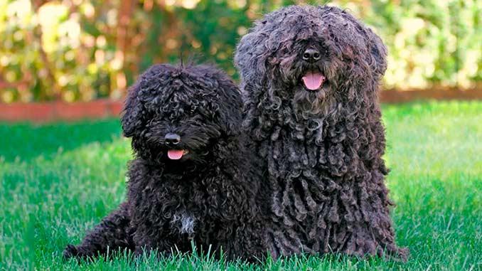 Фото собак породы пули