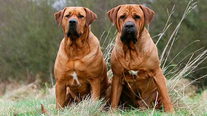 фото собак породы Тоса-ину