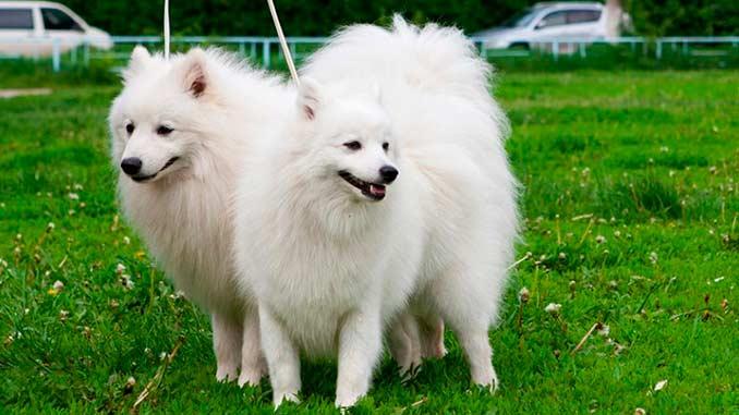 фото собак породы Японский шпиц