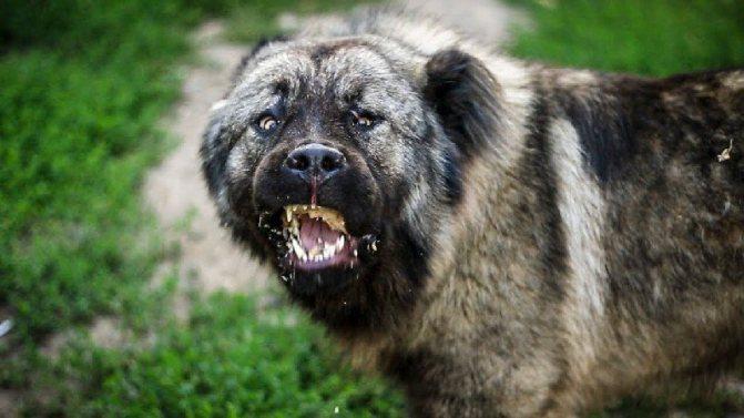 фото собаки кавказская овчарка