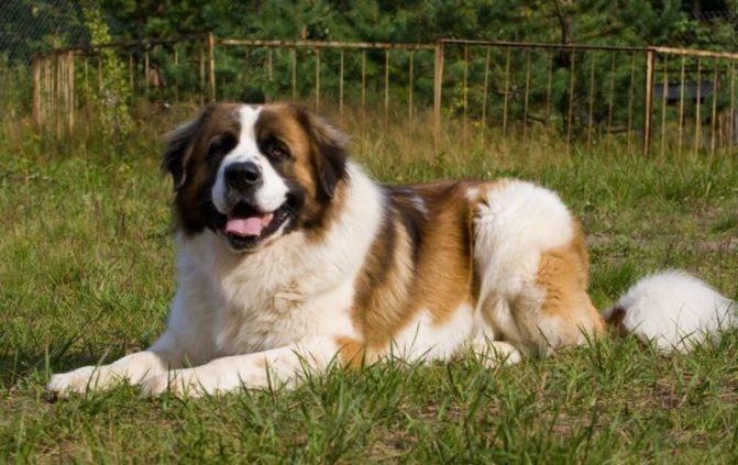 фото собаки московской сторожевой