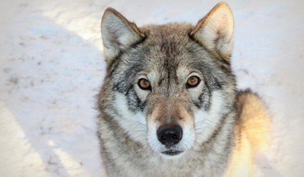 Фото: Волкособ гибрид волка и собаки