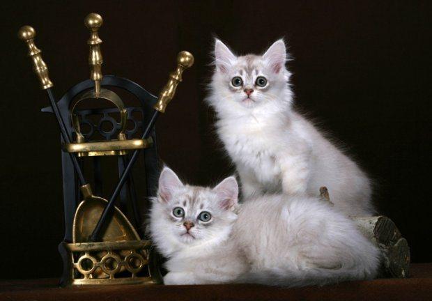фотографии кошек породы Шантильи-Тиффани