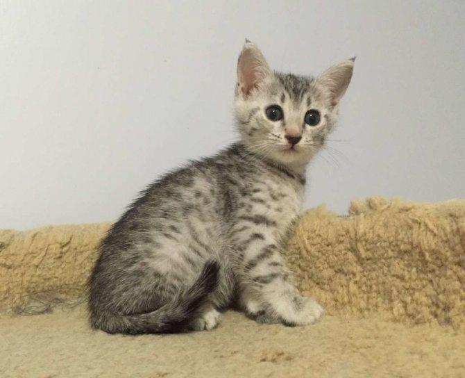 Фотографии котят египетской мау