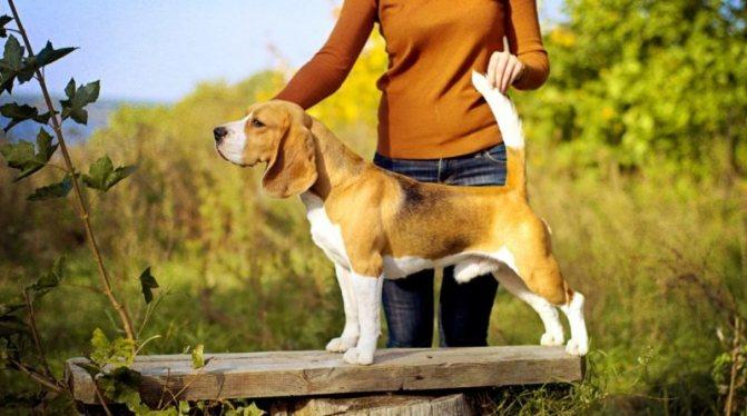 фотография собаки бигль
