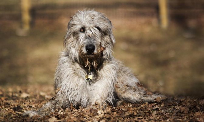 фотография собаки волкодав
