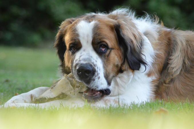 фотография сторожевой собаки