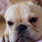 французский бульдог как выбрать щенка
