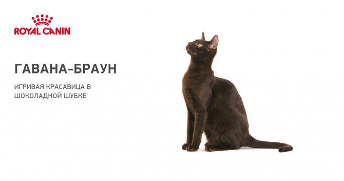 Гавана браун (Гавана) - Порода кошек - Информация и особенностях