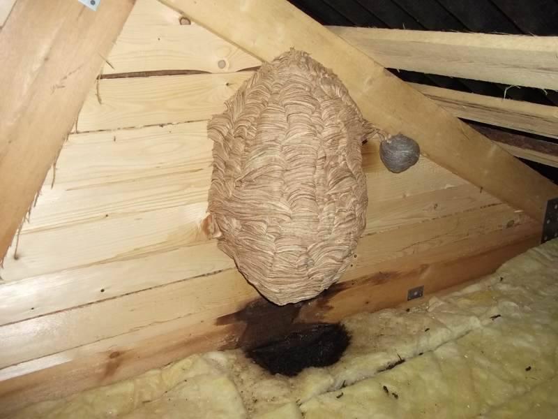 где искать осиное гнездо