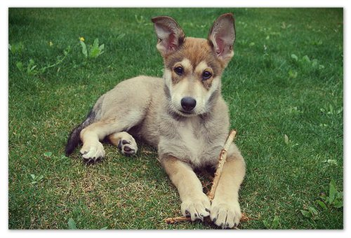 Где найти питомник и по какой цене купить чешского волчака?